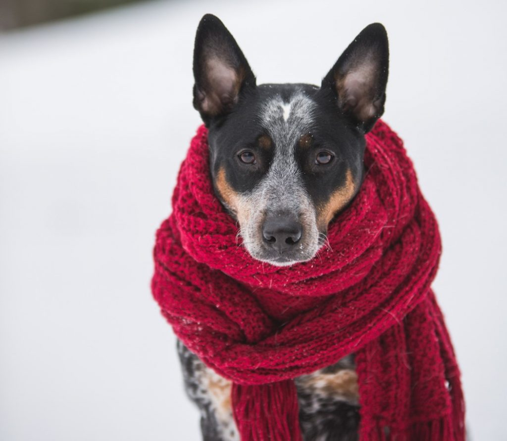 Throat inflammation - dog with a scarf