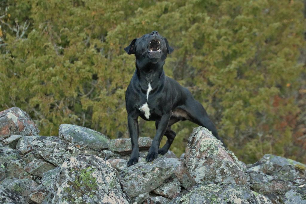 Dog Barks at something